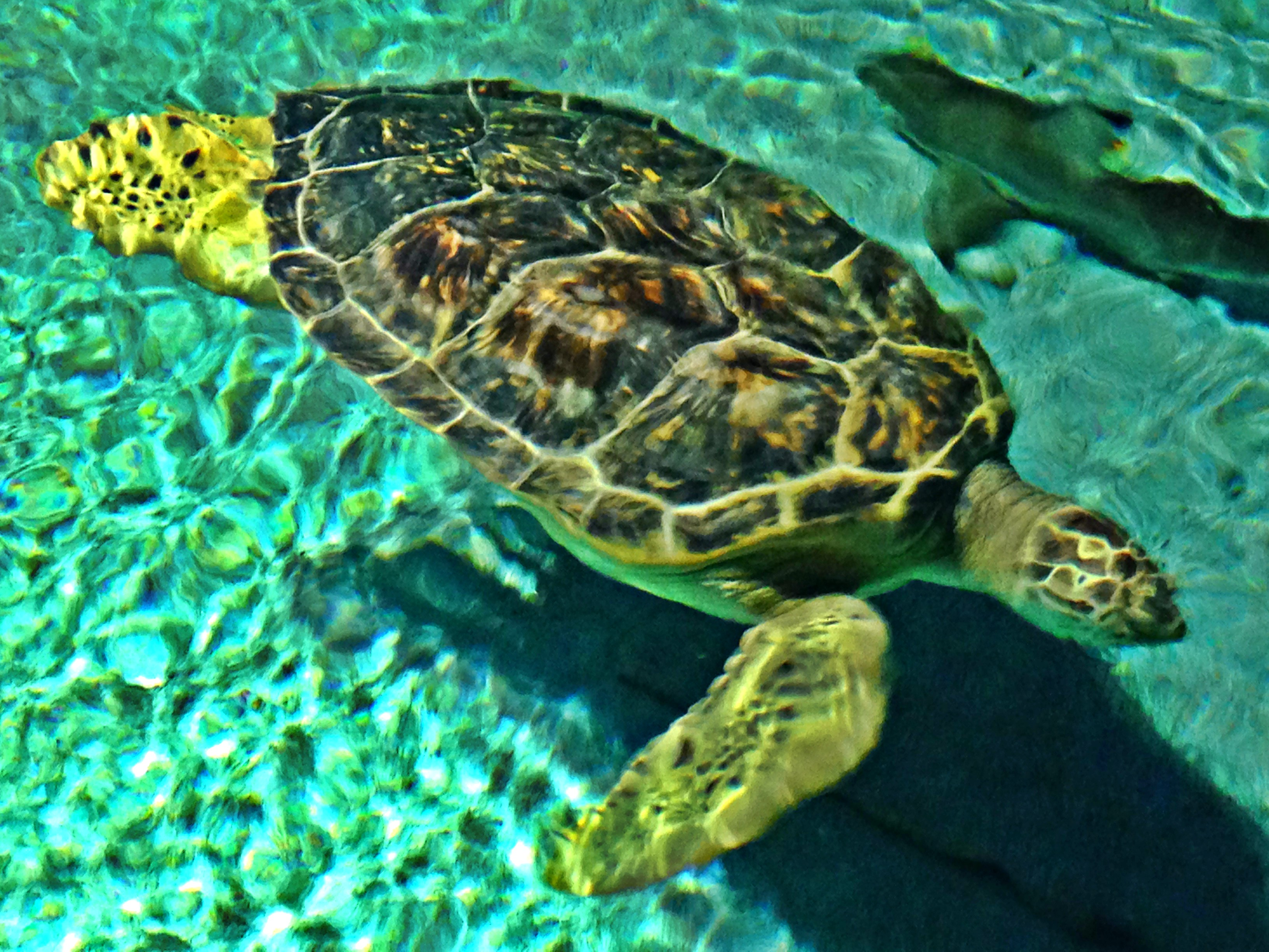 Rescue Turtle at the Baltimore Aquarium