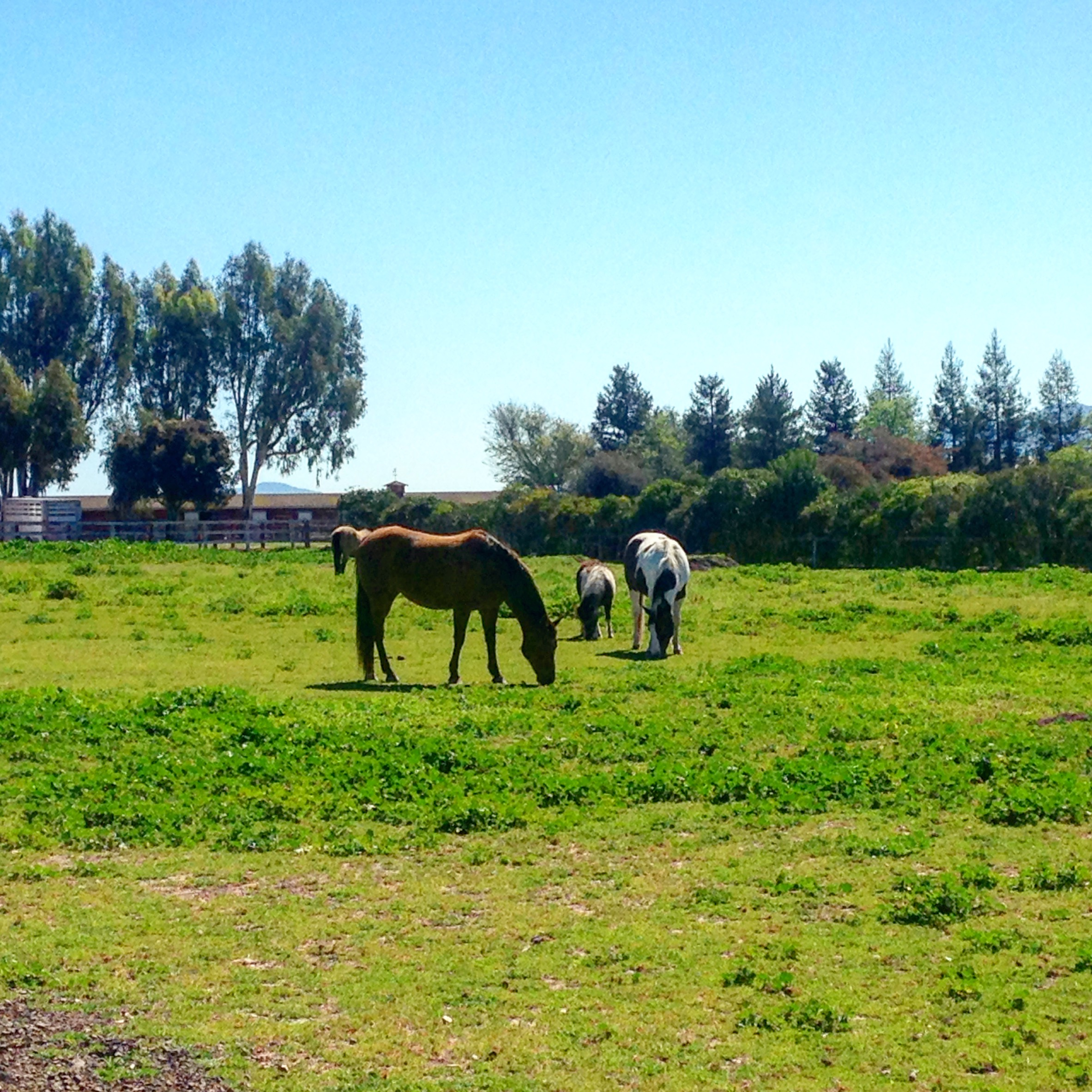 Horses at the Airbnb in Santa Ynez